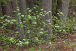 Hobblebush in Bloom against Hemlock Tree Trunks in Spring, Richmond, NH