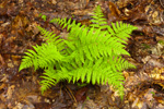 Early Spring Growth of Lady Ferns in Quabbin Reservation, New Salem, MA