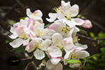 Closeup of Apple Blossoms, Birch Hill Wildlife Managemant Area, Winchendon, MA