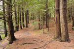 Trail through Conifer Forest along Millers River, Birch Hill Wildlife Management Area, Winchendon, MA