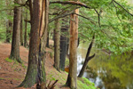 Forest along Banks of Millers River, Birch Hill Wildlife Management Area, Winchendon, MA