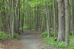 Hiking Trail through Norway Maple Trees in Goddard Memorial State Park near East Greenwich Cove, Warwick, RI