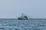 Gulls Circling Fishing Trawler at Entrance to Narragansett Bay, Rhode Island Sound, Narragansett and Jamestown, RI