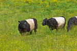 Belted Galloway Cattle Grazing in Pasture at Aldermere Farm, Rockport, ME