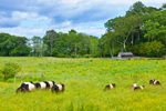 Belted Galloway Cattle Grazing in Pasture with Small Wooden Barn and Fences in Background, Aldermere Farm, Rockport, ME