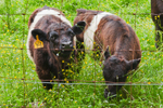 Two Belted Galloway Calves Grazing in Pasture at Aldermere Farm, Rockport, ME