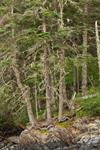 Spruce Trees on Rock Ledge along Carver Cove, Vinahaven Island, East Penobscot Bay, Vinalhaven, ME