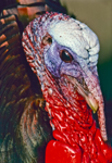 Close-up View of Tom Turkey's Head Showing Colorful Wattles and Snood during Display Ritual, Martha's Vineyard, MA