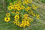 Black-eyed Susans at Edge of Field, Colebrook, CT