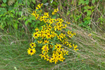 Black-eyed Susans at Edge of Field, Colebrook, CT