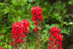 Close-up view of Cardinal Flowers in Bloom along Millers River, Athol, MA