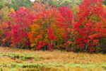Red Maples at Marsh Edge with Autumn Foliage, Royalston, MA
