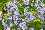 Close-up View of Purple-stemmed Asters, Forest Legacy Conservation Land, Athol, MA