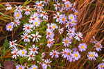 Close-up View of Asters and Dried Grasses, Templeton, MA