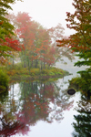 Foliage of Red Maples along Tully River in Early Morning Fog, Royalston, MA