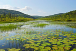 Spadderdock and Sedges in Phelps Pond with Surrounding Hills, Colebrook, CT