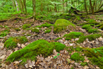 Moss-covered Rocks and Logs in Eastern Hemlock Forest, Norfolk, CT