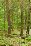 View of Mixed Deciduous and Conifer Forest, Norfolk, CT