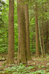 Eastern Hemlock Tree Trunks in Mixed Deciduous and Conifer Forest, Norfolk, CT
