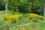 Black-eyed Susans in Field at Forest Edge, Colebrook, CT