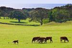 Cattle Grazing in Fields with Oak Forest and Atlantic Ocean in Background, Beetlebung Farm, Martha's Vineyard, Chilmark, MA