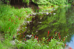 Cardinal Flowers in Bloom along Millers River near Bearsden Conservation Area, Athol, MA
