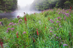 Grasses, Cardinal Flowers and Joe-pye Weed in Bloom on Misty Morning along Millers River, Athol, MA