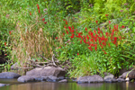 Cardinal Flowers and Grasses on Banks of Millers River near Bearsden Conservation Area, Athol, MA
