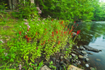 Cardinal Flowers and Joe-pye Weed in Bloom along Millers River near Bearsden Conservation Area, Athol, MA