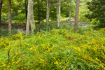 Goldenrods in Forest Opening along Millers River, Athol, MA