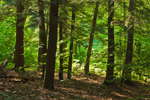 Early Morning Sunlight in Eastern Hemlock and American Beech Forest, Norfolk, CT