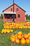 Pumpkins and Old Red Barn on Amish Farm, Oswego County, Williamstown, NY