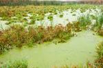 Pondweeks, Sedges and Cattails in Freshwater Marsh, Tonawanda Wildlife Management Area, Genesee County, Alabama, NY