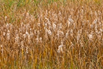 Cattails Gone to Seed in Freshwater Marsh, Iroquois National Wildlife Refuge, Genesee County, Alabama, NY