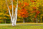 White Birch Tree Trunks and Autumn Foliage in Lake Erie State Park, Great Lakes Seaway Trail, Lake Erie Region, Portland, NY