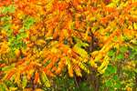 Smooth Sumac in Autumn, Great Lakes Seaway Trail, Lake Erie Region, Ripley, NY