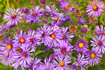 Closeup of New England Asters, Great Lakes Seaway Trail, Orleans County, Carlton, NY