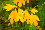 Closeup of Sassafras Leaves with Autumn Colors, Great Lakes Seaway Trail, Orleans County, Carlton, NY