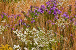 Field of Wildflowers: New England Asters, Small White Asters and Dried Grasses, Great Lakes Seaway Trail, Lake Erie Region, Portland, NY
