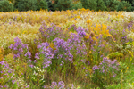 Field of Asters and Goldenrods, Great Lakes Seaway Trail, Lake Erie Region, Portland, NY