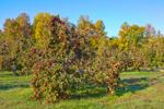 Early Morning Light on Apple Orchard in Autumn, Great Lakes Seaway Trail near Lake Ontario, Sodus, NY