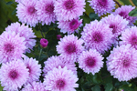 Closeup View of Pink Chrysanthemums in Gardens at Old Sodus Point Lighthouse, Lake Ontario, Great Lakes Seaway Trail, Sodus, NY
