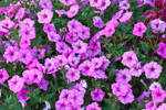 Closeup View of Pink Petunias in Gardens at Old Sodus Point Lighthouse, Lake Ontario, Great Lakes Seaway Trail, Sodus, NY