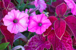 Closeup View of Pink Petunias and Red Coleus in Gardens at Old Sodus Point Lighthouse, Lake Ontario, Great Lakes Seaway Trail, Sodus, NY