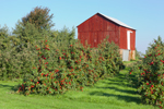 Apple Orchard and Red Barn on Great Lakes Seaway Trail near Lake Ontario, Sodus, NY
