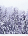 Hemlocks in Snowstorm, Great Smoky Mountains National Park, NC