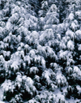 Eastern Hemlocks Heavy with Snow, Richmond, NH