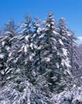 Blue Sky, White Pines and Eastern Hemlocks after Heavy Snowfall, Richmond, NH
