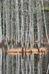 Tree Trunks Reflecting in Pond in Birch Hill Wildlife Management Area, Winchendon, MA