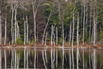 Forest with Tree Trunks Covered with Snow Reflecting in Lawrence Brook, Royalston, MA